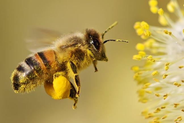 Khasiat Bee Pollen | Forever Bee Pollen – Debunga Lebah Asli Untuk Tenaga Segera & Kesuburan